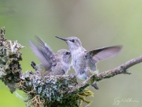 Anna's Hummingbird chicks.