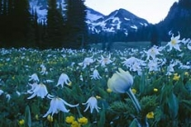 Avalanche lily, Buttercup, Pasque flower, Mt. Rainier. Canon ElanIIe. 24mm T/S. 3 stop ND filter.