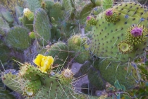 Prickly Pear cactus, with a few flowers.