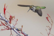 Costa\'s hummingbird (I think)
