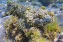 Scorpion Fish, Puerto Ballandra.