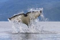 Orca tail slap; signalling some annoyance?