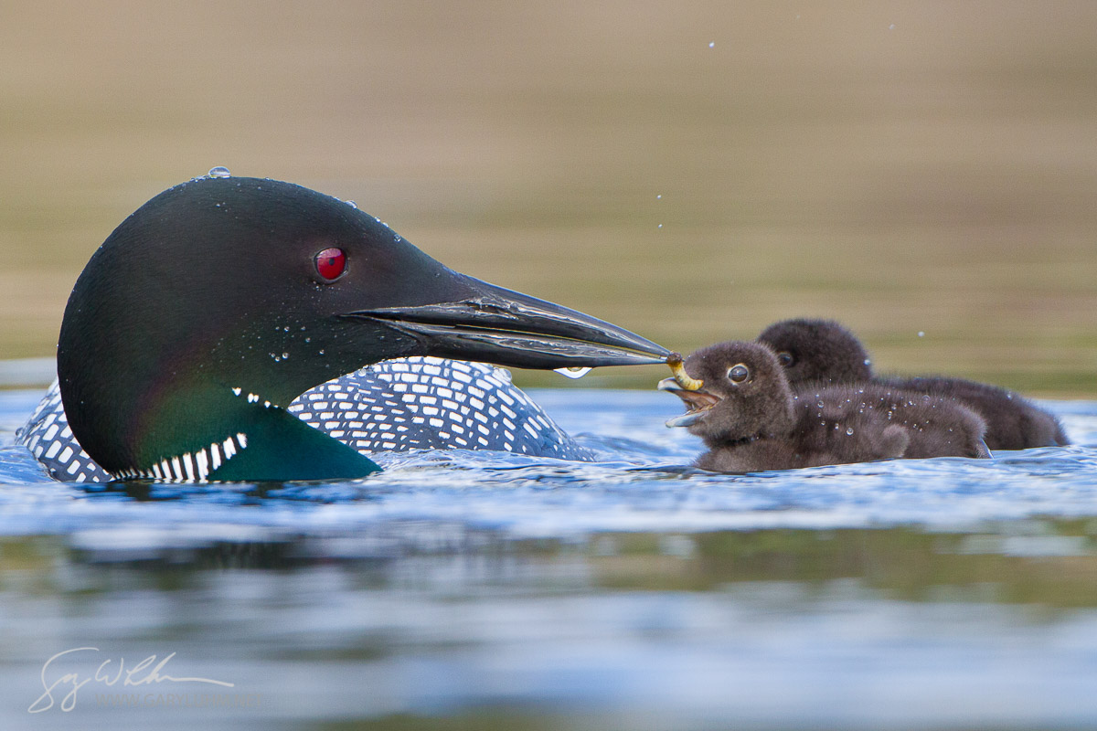 Common Loon (Gavia Immer) adult feeds aquatic insect to chick. Lac Le Jeune, British Columbia, Canada.