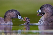 Pied-billed Grebes, feeing young. Union Bay, Lake Washington, Seattle.