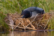 Common Loon on the nest, Lac Le Jeune, British Columbia, Canada