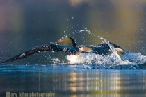 Male Common Loon fleeing after defeat by another loon, Lac Le Jeune, British Columbia, Canada.