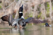 Common Loon flapping wings, with mate and chick, Lac Le Jeune, British Columbia, Canada