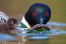 Common Loon offering food to young, Lac Le Jeune, British Columbia, Canada