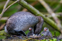 Pied-billed Grebes hatch asynchronously. Adult is turning an egg. Union Bay, Seattle, Washington.