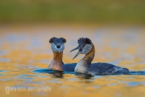 Breeding plumage Red-necked Grebes defend territory on a pond in Eastern Washington.