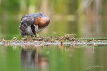 Red-necked Grebe (Podiceps grisegena) turning egg on floating nest in Central Washington lake.