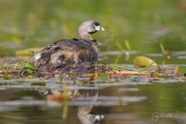 Pied-billed Grebe on floating nest with three chicks aboard.