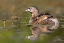 Three young Pied-billed Grebes ride on an adult\'s back on a quiet pond. Seattle, WA.