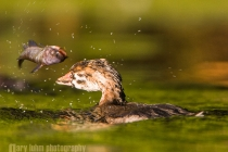 Juvenile Pied-billed Grebe, showing skill at flipping fish. Union Bay, Lake Washington, Seattle.