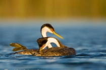 Western Grebes, preening, mating behavior, Potholes Reservior, Washington.