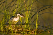 North America, USA, Washington State, Western Grebe, nest.