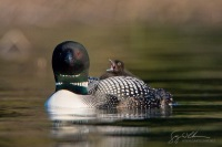 Loon chick on back of parent Common Loon, Lac Le Jeune, British Columbia, Canada.