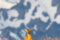 Blacktail fawn crossing meadow on Hurricane Ridge, Olympic National Park.