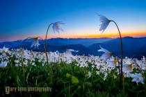 Avalanche lilies at sunset along Obstruction Point Rd., Olympic National Park.