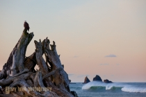 Bald Eagle at First Beach, La Push, Washington, sunrise.