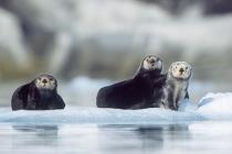 Sea Otters. Sea Otters on iceberg in Prince William Sound, Alaska.