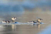 Kittlitz\'s Murrelets. Kittlitz\'s Murrelet numbers have plummeted in recent years, but they are more common than Marbled Murrelets in some areas of Prince William Sound.