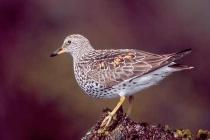 Surfbird. Surfbird at intertidal feeding stop during May migration, Naked Island, Prince William Sound, Alaska.
