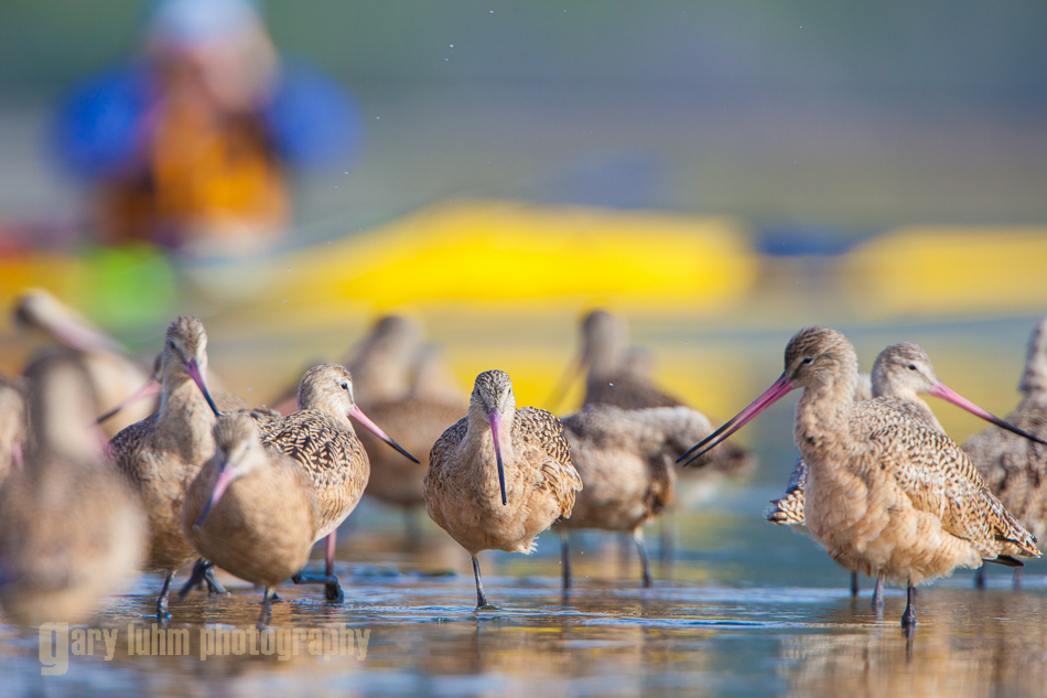 Marbled Godwits; bird watching by kayak in Elkhorn Slough, Calafornia.