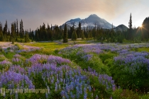 Meadow of lupine at Indian Henry\'s Hunting Ground, Mt. Rainier NP, panorma from five mages.