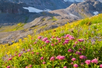 Rosy Spirea, with glaciation and Mt. Rainier behind, above Paradise. USA, Mt. Rainier National Park, Washington.