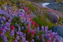 Lupine and Paintbrush, Van Trump Memorial area, Mt. Rainier National Park.