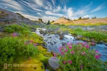 Lewis Monkeyflower, Van Trump Memorial area, Mt. Rainier National Park.