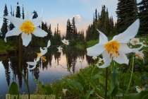 Avalanche Lilies (Erythronium montanum) front Mirror Pond at Indian Henry\'s Hunting Ground, with Mt. Rainier peeking above cloud. Mt. Rainier National Park.