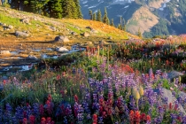 Wildflowers on Mazama Ridge, Mt. Rainier National Park