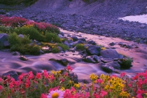 Wildflowers along mountain stream at sunrise, Mt. Rainier National Park.