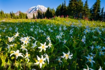 Avalanche Lilies, Spray Park, Mt. Rainer National Park.
