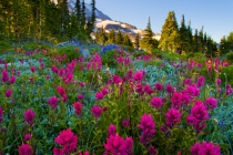 Indian Paintbrush at Spray Park, Mt. Rainier National Park