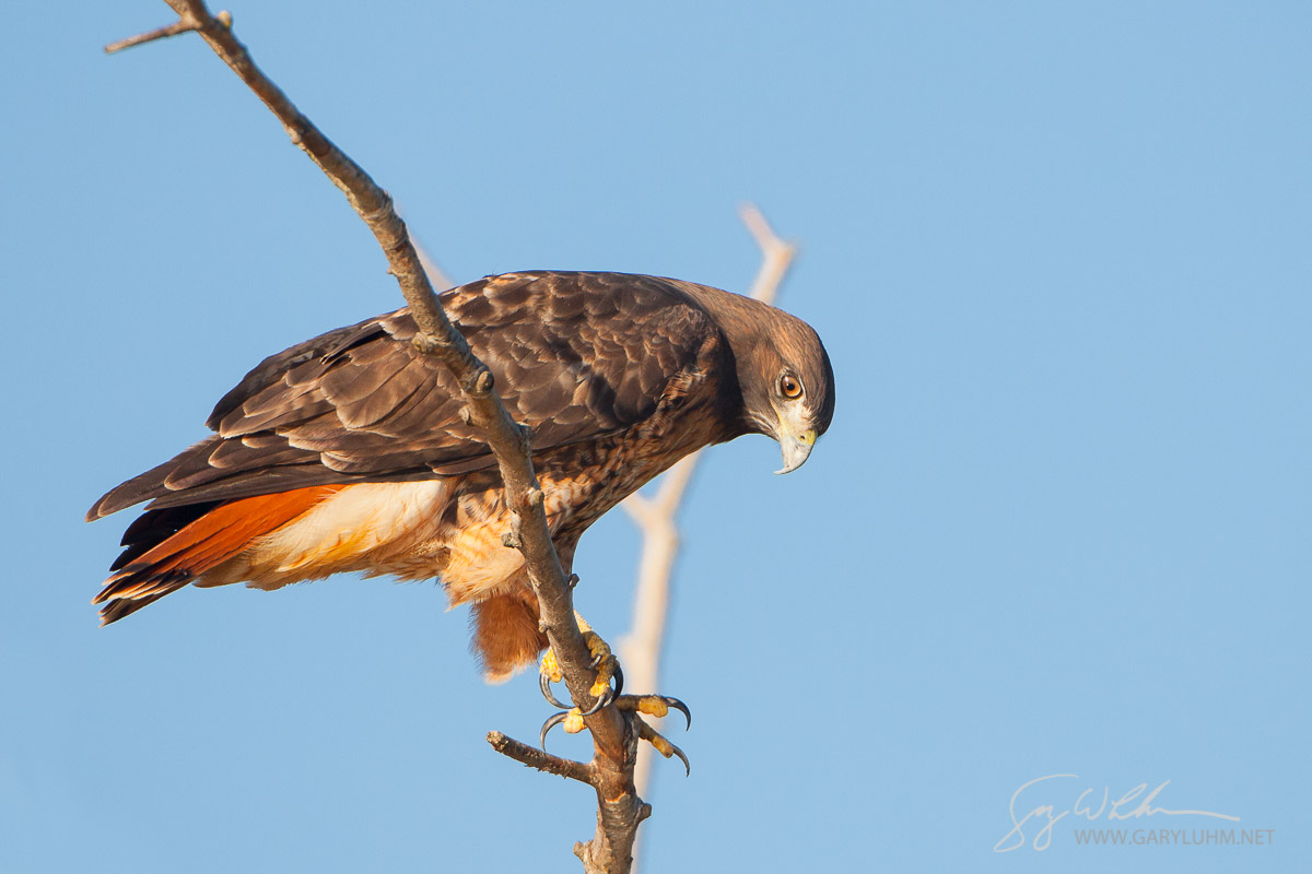 Red-tailed Hawk peers down from a perch. Union Bay, Lake Washington, Seattle.