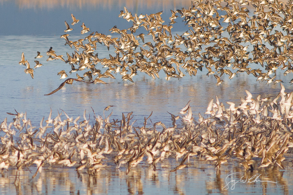 A Peregrine Falcon scatters a Dunlin flock, Samish Flats, Washington State.