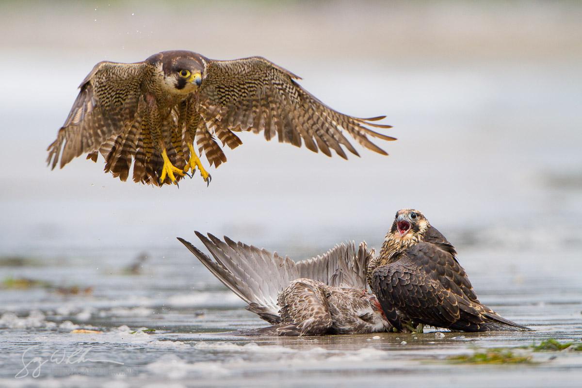 USA, WA, Olympic National Park. Juvenile Perigrine Falcon (Falco peregrinus) claims a gull kill, adult bird in the air, at Shi-Shi beach.
