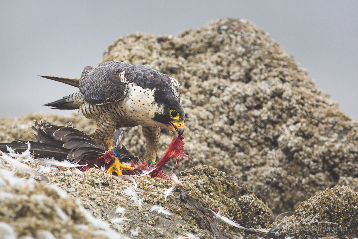 USA, Washington State. Adult Peregrine Falcon (Falco peregrinus) dismembers a gull at Point of Arches, Shi Shi beach, Olympic National Park.
