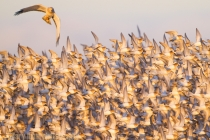 Male Northern Harrier attacks a Dunlin flock, Samish Flats, Washington State.