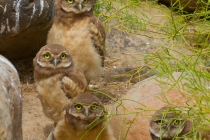 Assemblage of young Burrowing Owls, Eastern Washington State.