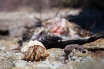 Mexico, Baja. A hermit crab scavenges at a Turkey Vulture carcass in broad daylight on a beach in the Sea of Cortez, only leaving the scene when I approached.