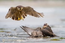 USA, WA, Olympic National Park. Juvenile Perigrine Falcon (Falco peregrinus) claims a gull kill, adult bird in the air, at Shi-Shi beach.