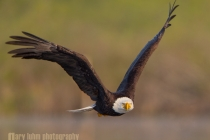 USA, Washington State. Bald Eagle (Haliaeetus leucocephalus) in low flight over Lake Sammamish, WA.