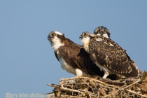 Adult Osprey and two fledged young, on the nest, Everett, Washington.