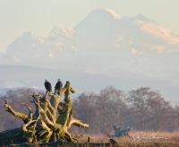 Bald Eagle pair on huge driftwood, with Mt. Baker behind. Skagit Delta, Washington State.