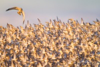 Male Northern Harrier attacks a Dunlin flock, Samish Flats, Washington State.