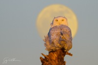 USA, Washington state. A Snowy Owl (Bubo scandiacus) sits on a perch at sunset, with the full moon behind, at Damon Point, Ocean Shores, WA. Digital Composite.
